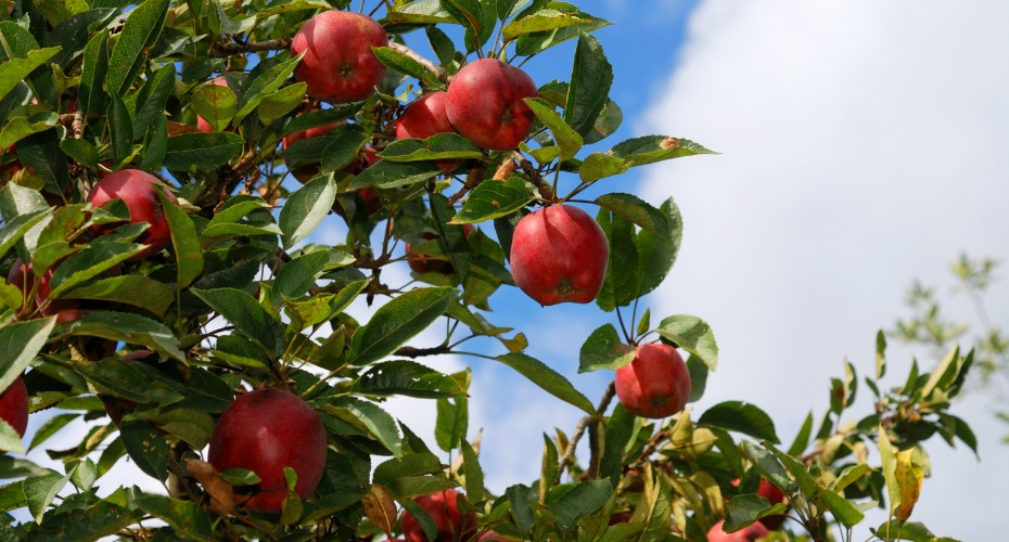 20200927-apple-aomori