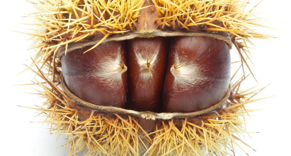 chestnut-ranking-3